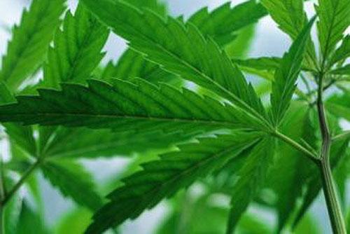Чешское правительство рассказало, сколько наркотиков можно иметь при себе. Листья каннабиса. Фото Steve Taylor с сайта gettyimages.com  14 декабря 2009