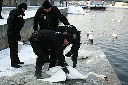 Пражские полицейские выручили лебедей, примерзших к набережной Влтавы. Фото пражской полиции с официального сайта Праги  Фото: Portál hlavního města Prahy  21 декабря 2009