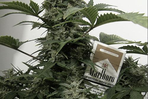 """В Праге открылся магазин, официально торгующий семенами голландской конопли. Куст марихуаны. Изображение с сайта магазина """"Пять семян""""  12 мая 2010 года"""