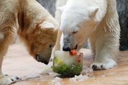 Белых медведей в Пражском зоопарке в жару кормят мороженым. Белые медведи Бора и Том. Фото Петра Клиера, пресс-лужба Пражского зоопарка  15 июля 2010