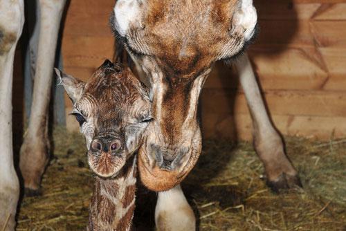 В пражском зоопарке родился первый в этом году жираф. Новорожденный жираф. Фото пресс-службы пражского зоопарка  28 июля 2010