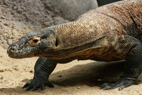 Пражский зоопарк предлагает посмотреть в онлайн-режиме, как вылупляются «драконы». Самка комодского варана. Фото пресс-службы Пражского зоопарка  24 августа 2010