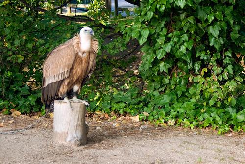 Немецкого стервятника-гея переведут в чешский зоопарк. Одинокий стервятник в зоопарке  Фото: Василий Мазный  15 ноября 2010