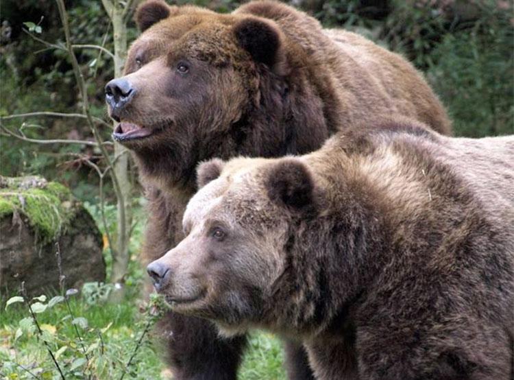 Умер последний в Чехии и Словакии медведь гризли. Медведи гризли в зоопарке Дечина. Фото Alena Houšková  13 ноября 2018 года