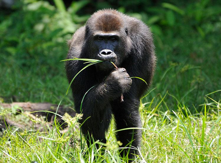 Зоопарк Праги повысит отчисления на спасение редких видов в дикой природе. Средства пойдут и на спасение горилл  Фото: Зоопарк Праги  21 ноября 2018 года