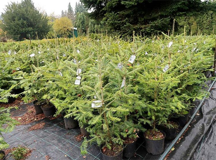 Прага предлагает «выпустить» рождественские деревья в лес. Для Праги подготовлено 400 рождественских деревьев в горшках. Фото Lesy hl. m. Prahy  21 ноября 2018 года