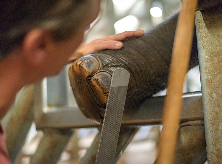 Слонятам в зоопарке Праги делают педикюр дважды в неделю. Слоненку делают педикюр  Фото: Зоопарк Праги  22 ноября 2018 года