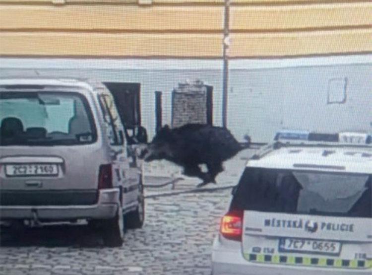 Дикий кабан устроил переполох в Ческе-Будеевице и ранил женщину. Кабан в центре Ческе-Будеевице. Фото городской полиции (MP ČB)  24 ноября 2018 года