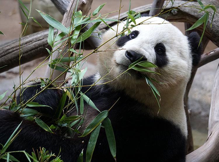 Президент Милош Земан лишил пражский зоопарк надежды получить больших панд. Больших панд в зоопарке Праги пока не будет. Photo by Cesar Aguilar from Pexels  28 ноября 2018