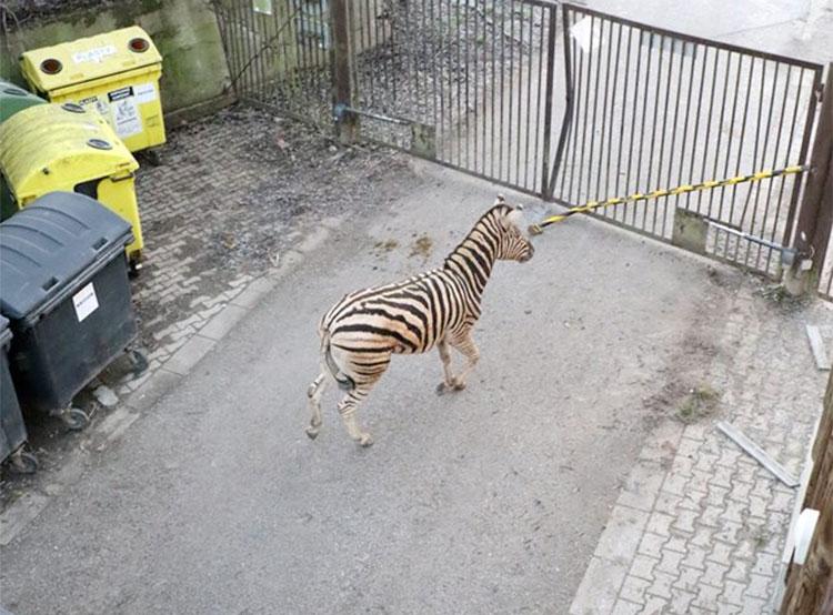 Приезжая зебра устроила дебош в чешском зоопарке. Фото из фейсбука Zoologická zahrada Jihlava  6 декабря 2018 года