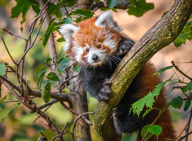 В зоопарке Праги за год родилось 1340 детенышей. Родившийся в 2018 году детеныш малой панды получил имя Флин  Фото: Зоопарк Праги  1 января 2019 года