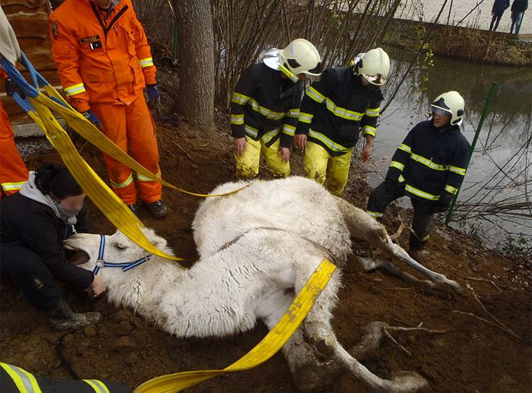 Чешские пожарные на Новый год вытащили из пруда верблюда. Спасенный верблюд. Фото HZS Středočeského kraje  3 января 2019 года