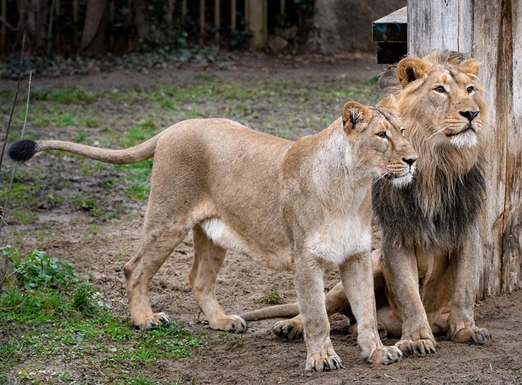 Пражский зоопарк размножит редких азиатских львов с помощью искусственного осеменения. Джамван и Гинни в пражском зоопарке  Фото: Зоопарк Праги  3 января 2019 года