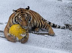 Как животные в зоопарке Праги наслаждались снегом. Фотогалерея.  Тигр в зоопарке Праги. Фото Petr Hamerník, Zoo Praha.  5 января 2019