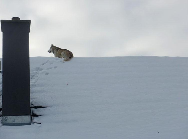 Чешские пожарные сняли с крыши дома большого пса. Фото HZS ČR  8 января 2019 года