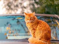 Кот так не хотел ехать к ветеринару, что устроил ДТП. Непристегнутый кот спровоцировал автомобильную аварию. Фото pixabay.com  17 января 2019