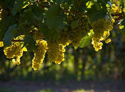 В Чехии выбрали винодельню года. В Чехии выбрали винодельню года. Фото Pixabay.com  27 января 2019