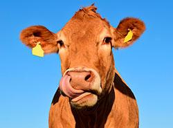 В Чехии обнаружено мясо больных польских коров.  В Праге изъято мясо предположительно больных польских коров. Фото Pixabay.com.  3 февраля 2019