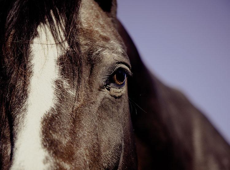 В Германии «арестовали» слишком тяжелого чешского скакового жеребца. Чешский конь оказался слишком тяжелым для прицепа. Фото pexels  7 февраля 2019 года