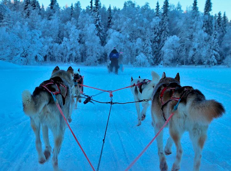 В Чехии проходит национальный чемпионат по гонкам на собачьих упряжках. В Чехии проходит национальный чемпионат по ездовому спорту. Фото pixabay.com  16 февраля 2019