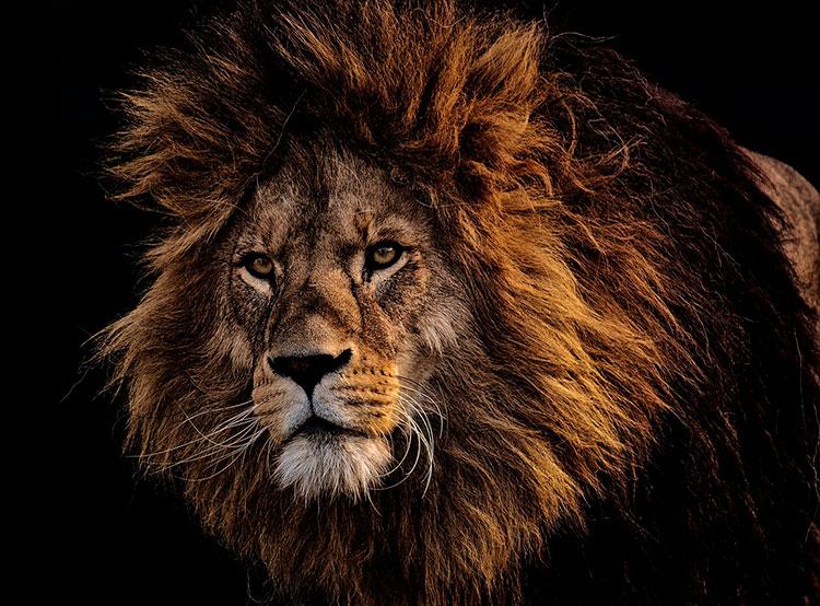Полицейские застрелили бывшего циркового льва, убившего владельца. Лев. Image by Alexas_Fotos on Pixabay   5 марта 2019 года