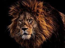 Полицейские застрелили бывшего циркового льва, убившего владельца. Лев. Image by Alexas_Fotos on Pixabay   5 марта 2019