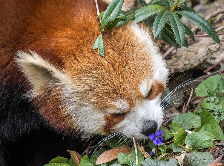 Пражский зоопарк проводит весеннюю экскурсию, посвященную брачным играм. Малая панда  Фото: Зоопарк Праги  21 марта 2019