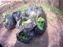 Полиция чешского города Брно конфисковала семь мешков черемши.  Мешки с черемшой. Фото пресс-службы городской полиции Брно.  5 апреля 2019