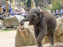 Первому 100-процентно пражскому слону исполнилось три года.  Слоненок Макс. Фото Petr Hamerník, Zoo Praha.  6 апреля 2019