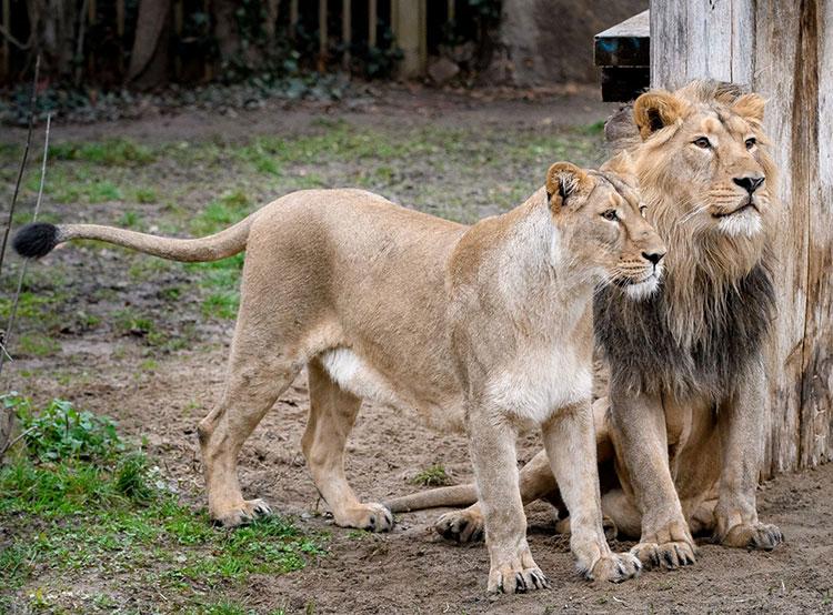 Размножить львов в пражском зоопарке с помощью искусственного осеменения не удалось. ЯМВАН И ГИННИ В ПРАЖСКОМ ЗООПАРКЕ  Фото: Зоопарк Праги  23 апреля 2019 года