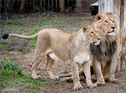 Размножить львов в пражском зоопарке с помощью искусственного осеменения не удалось.  ЯМВАН И ГИННИ В ПРАЖСКОМ ЗООПАРКЕ.  Фото: Зоопарк Праги.  23 апреля 2019