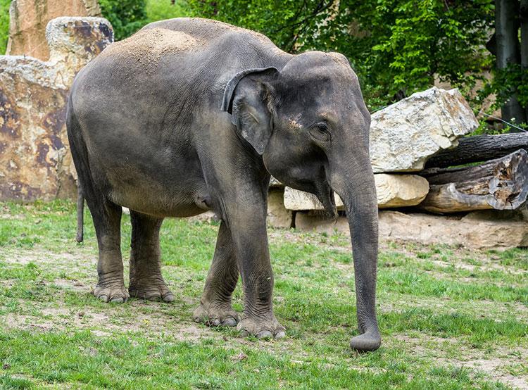 В Пражском зоопарке ожидают рождения сразу двух слонят. Слониха по имени Тамара. Фото Petr Hamerník, Zoo Praha  14 мая 2019