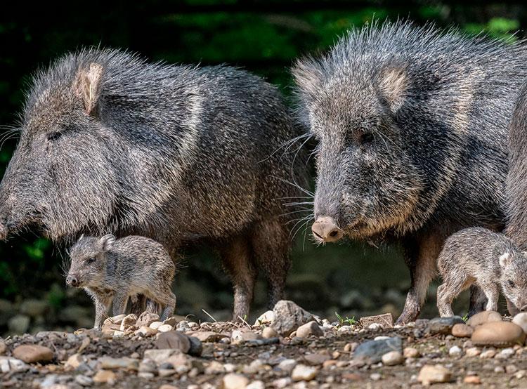В пражском зоопарке размножились животные, ранее считавшие вымершими. В Пражском зоопарке родились два детеныша пекари Вагнера. Фото Petr Hamerník, Zoo Praha  18 мая 2019
