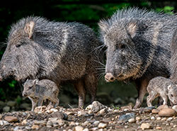 В пражском зоопарке размножились животные, ранее считавшие вымершими.  В Пражском зоопарке родились два детеныша пекари Вагнера. Фото Petr Hamerník, Zoo Praha.  18 мая 2019
