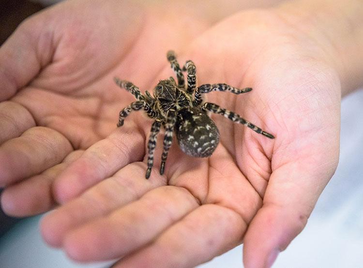 Пражский зоопарк первым в мире показал общественности самого большого паука в Европе. Южнорусский тарантул в Пражском зоопарке. Фото Petr Hamerník, Zoo Praha  26 мая 2019 года