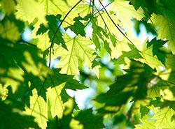В Праге с начала года высадили 160 тысяч деревьев.  В Праге стало больше деревьев и появились новые леса. Image by gregovish from Pixabay .  12 июня 2019