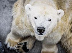 Пражский зоопарк попрощался с медведицей-долгожительницей. Белая медведица Бора  Фото: Зоопарк Праги  28 августа 2019