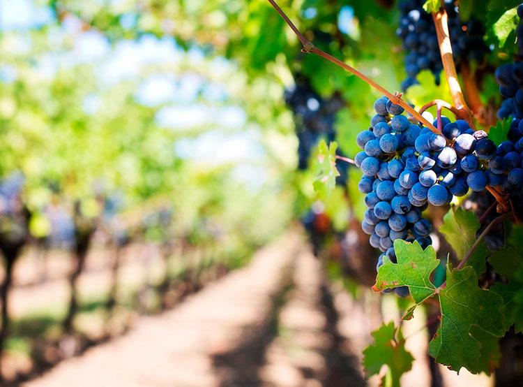 На Моравии «продвинутые» скворцы уничтожают урожай винограда. Пока не собран лучший виноград  8 октября 2019 года